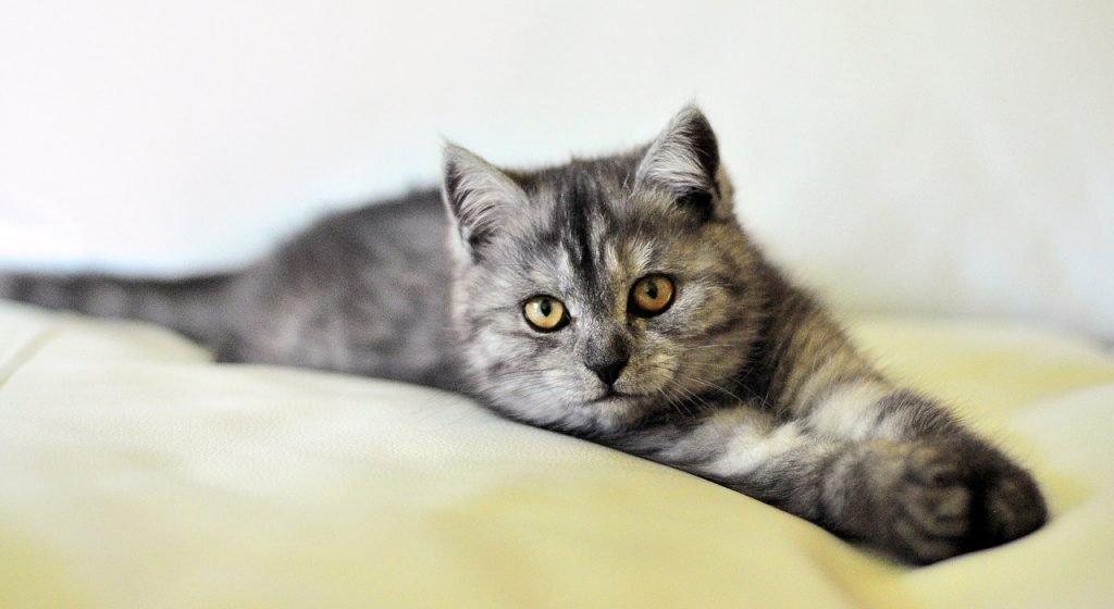 britse korthaar kitten - fotoalbum